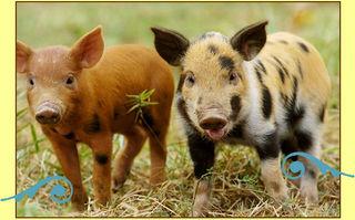 Pigglets_01